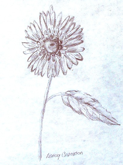 'Sunflower', a  pencil drawing by Nancy Cranston